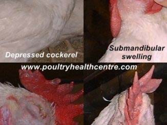 4 pictures showing the clinical signs seen in a breeder cockerel with chronic fowl cholera.