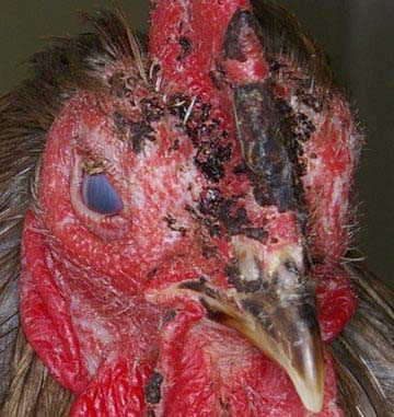 Possible Infectious Coryza - depressed cockerel with facial swelling