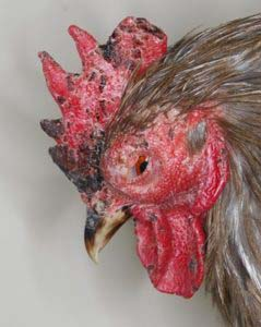 Possible Infectious Coryza - depressed cockerel showing facial swelling