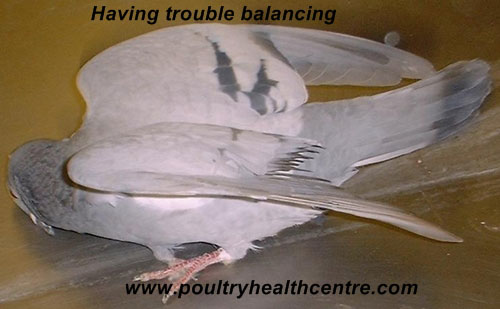 Pigeon showing nervous signs and unable to stand up or balance properly